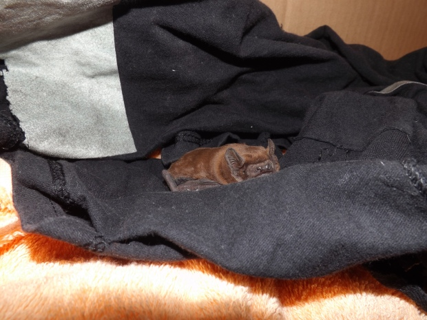 bat before hibernation